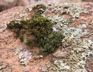 moss-lichen