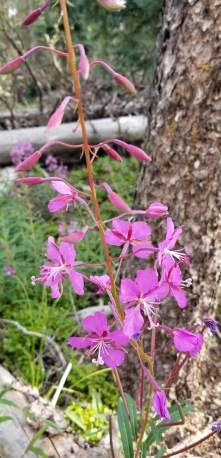 Fireweed was abundant throughout the trail