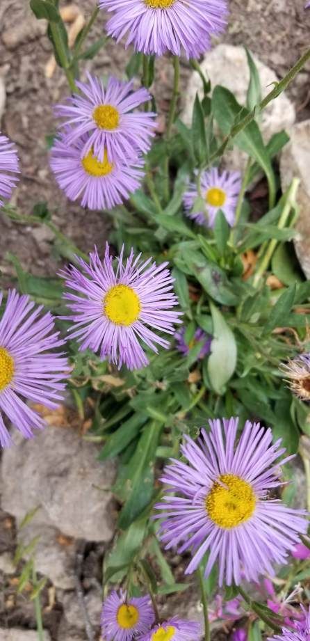 Asters or Fleabane?